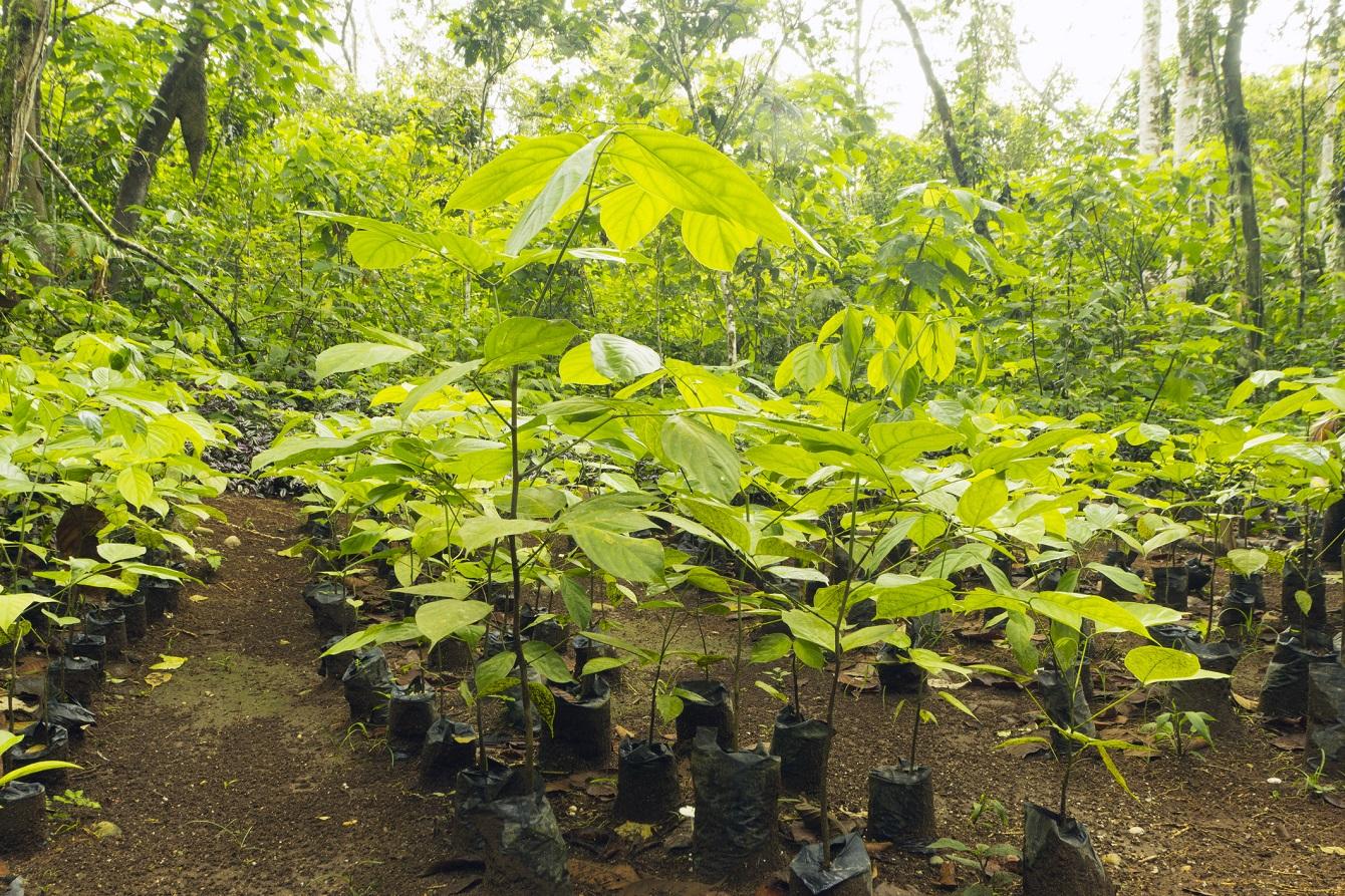 mahagoni plantage - Irrefuhrende Werbung Beispiele